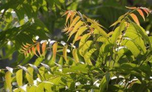 aceite de neem aplicacion